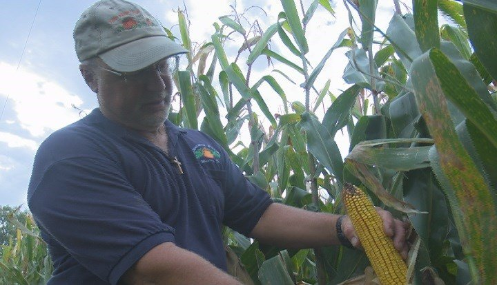 Farmer checking his corn crop may have other opportunities in the near future