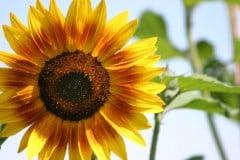 Summer Sunflower Caption